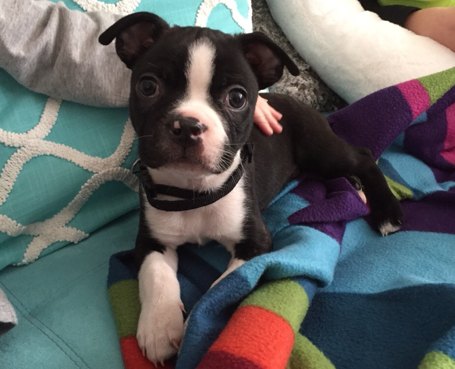 Bowzer the Boston Terrier Puppy