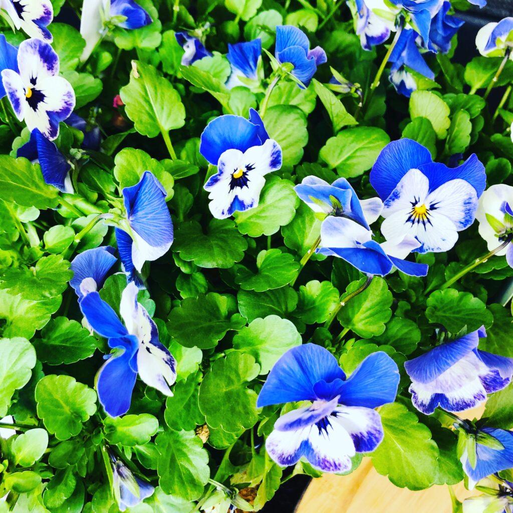 Flowers for spring fairy garden